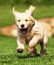Yavru Köpek Alırken Nelere Dikkat Edilmeli?