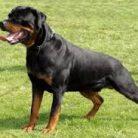 Rottweiler Saldırısı