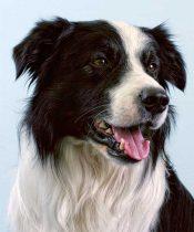 Border Collie Köpek Eğitimi