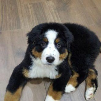 Bernese Mountain Dog Satılık Yavru