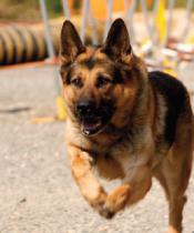 Bomba arama köpekleri