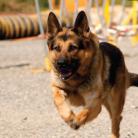 Alman K9 Kurt Köpeği