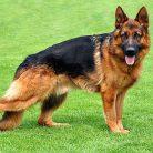 Alman Kurdu Köpekleri