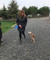 Golden Retriever Köpek Eğitimi