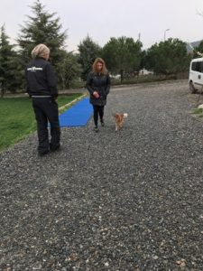 Husky Köpek Eğitimi